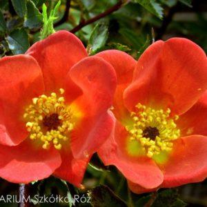 Rosa foetida'Bicolor'