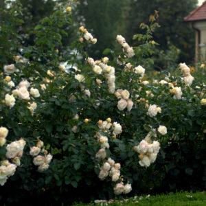 Róże polskiej hodowli