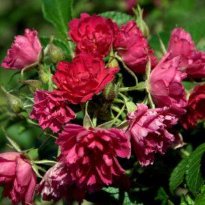 Rosa rugosa 'F.J. Grootendorst'
