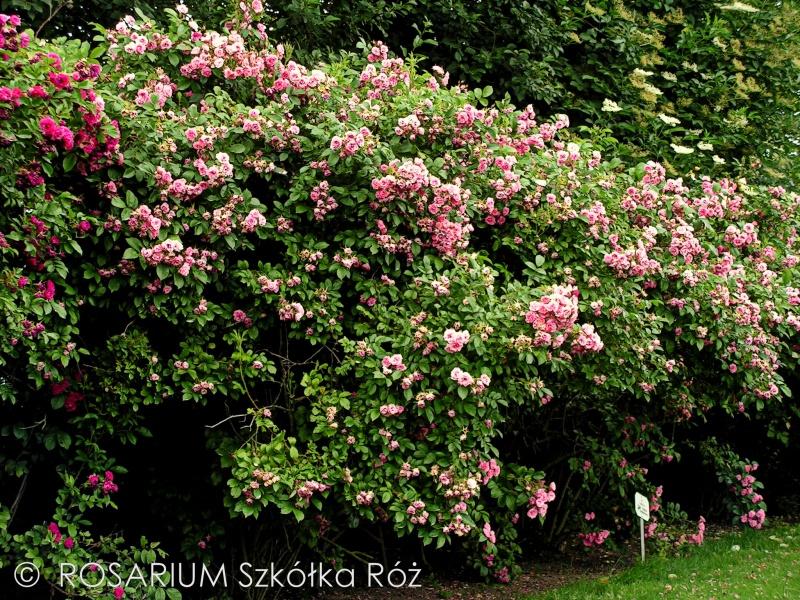 pink-grootendorst2