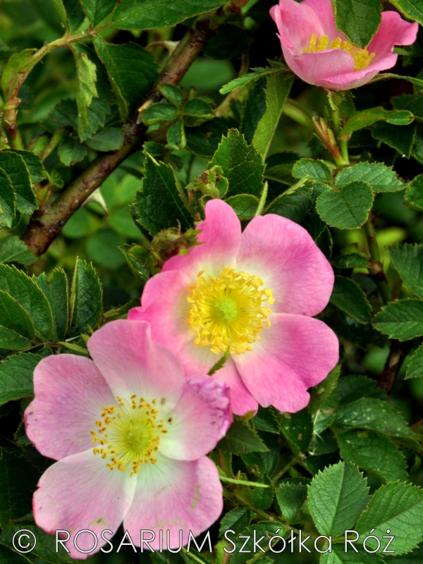 rosa-rubiginosa2