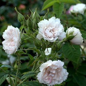 Rosa rugosa 'White Grootendorst'