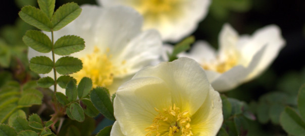Rosa pteragonis