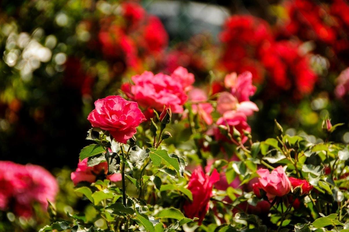 Pola-Różane012.jpg