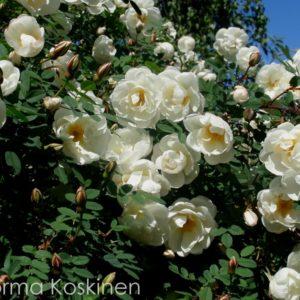 Rosa spinosissima 'Plena'