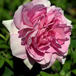 Rosa gallica 'Empress Josephine'