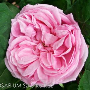 Rosa centifolia 'Bullata'