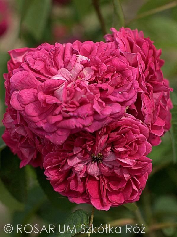 Rose du Roi