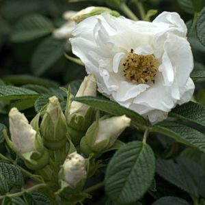 Rosa rugosa 'Schnee Eule'®