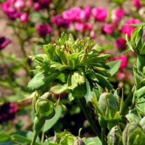 Viridiflora