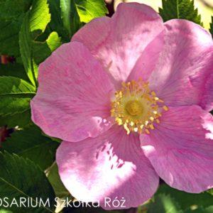 Rosa californica