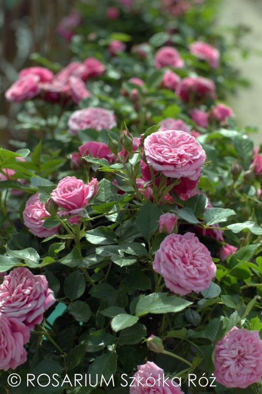 pink-babyflor1