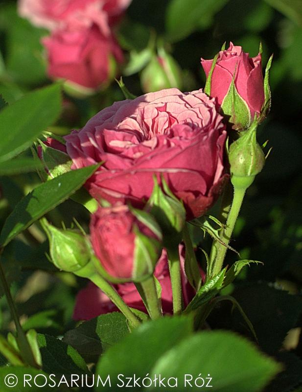 pink-babyflor2