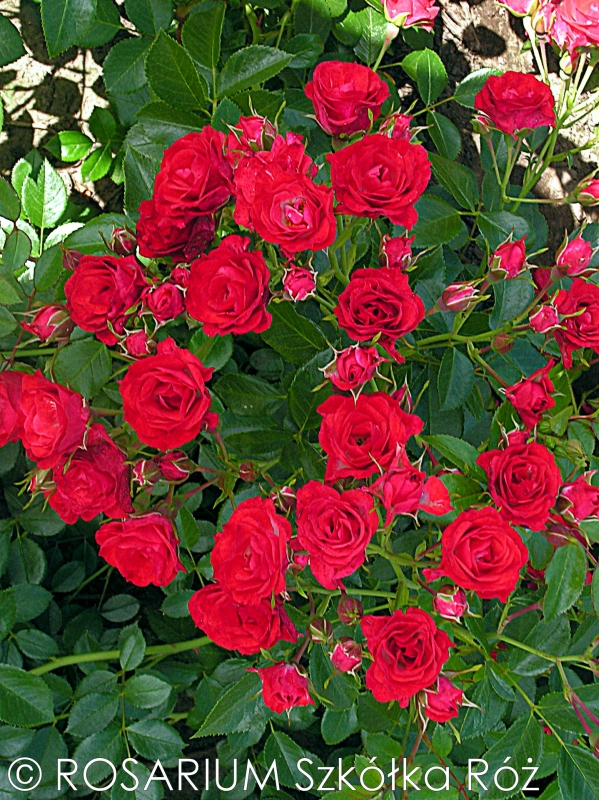 scarlet-meidiland1