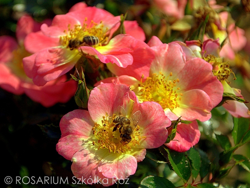 Bienenweide Apricot®