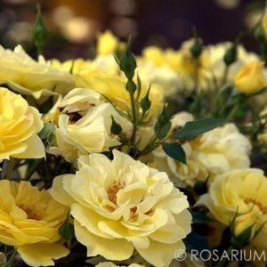 Bienenweide Gelb®