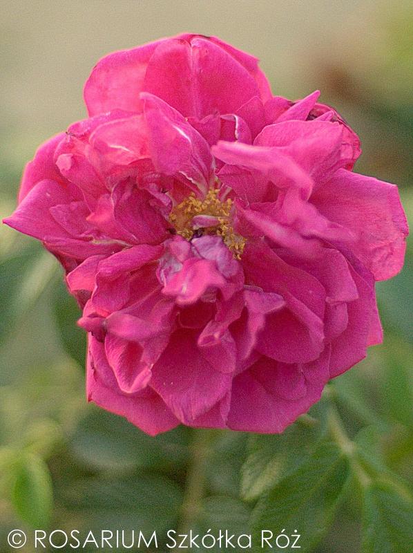Rosa rugosa 'Belle Poitevine'