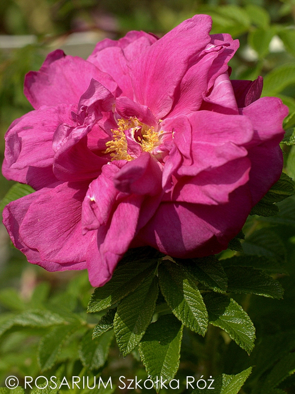 Rosa rugosa 'Rosereie de l'Hay'