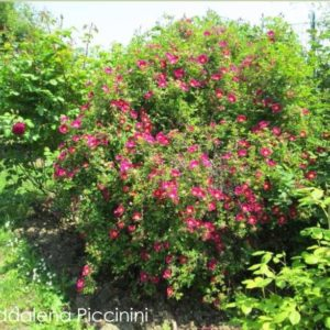 Rosa spinosissima 'Red Nelly'