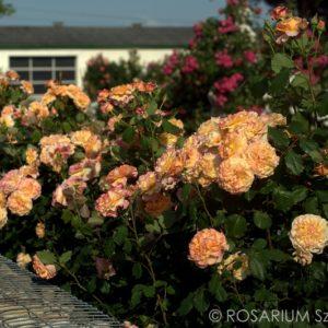 La Villa Cotta® Märchen® Rosen