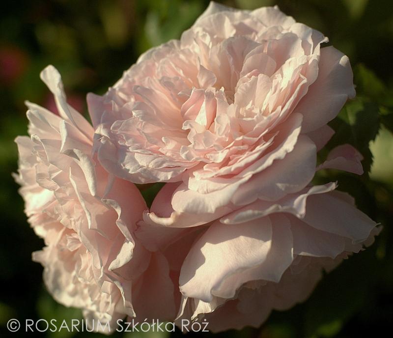 Rose de Tolbiac® Kletter®Maxe