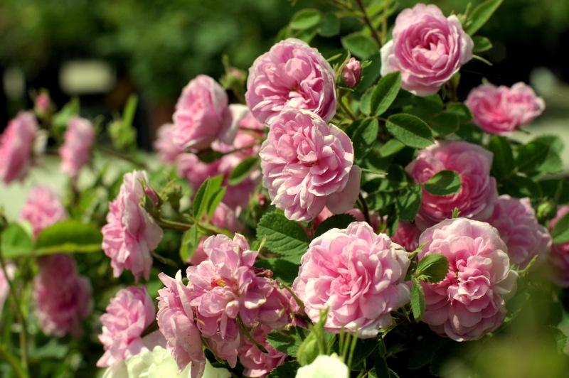 rose-de-meaux1