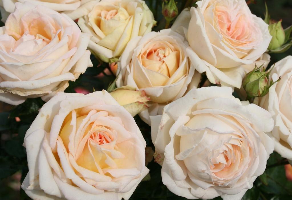 Róże PARFUMA®