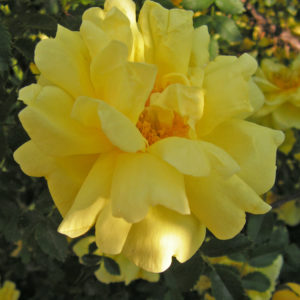 Róża Harison's Yellow