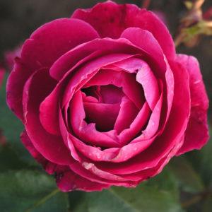 Róża Alexander MacKenzie