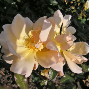 Róża Amber Sun