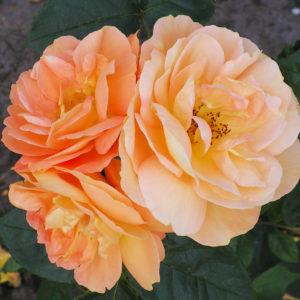 Bernstein Rose® (Tantau, 1987)