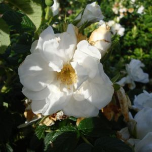 Rosa Rugosa 'Blanc Double De Coubert'