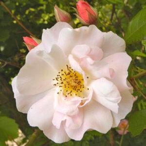 Róża Clair Matin