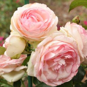 Eden Rose 85® (Meilland, 1987)