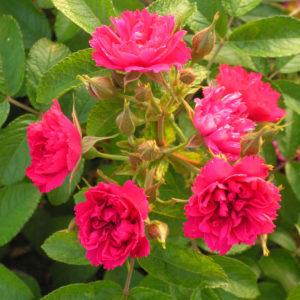 Róża Rosa rugosa 'F.J. Grootendorst'