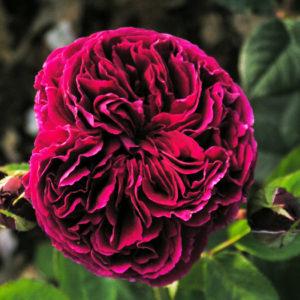 Róża Falstaff