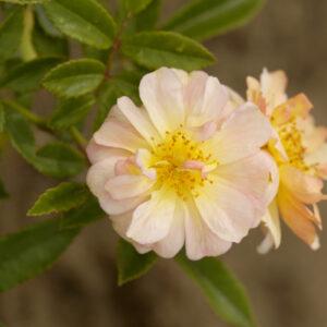 Róża Ghislaine de Féligonde