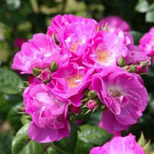 Róża Global Water