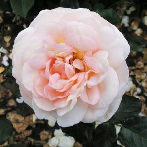 Marie Antoinette® (Tantau, 2003)