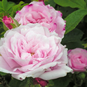 Rosa Centifolia 'Petite De Hollande'