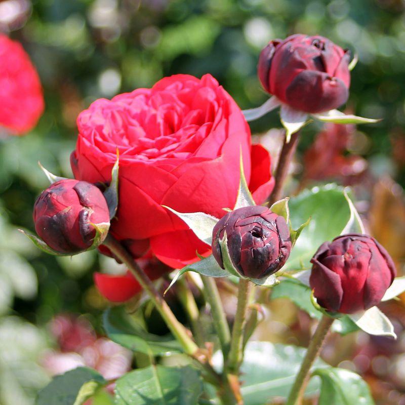Róże nostalgiczne