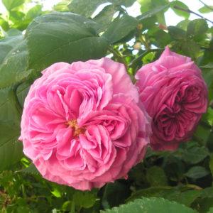 Rosa Damascena 'Koszuty'