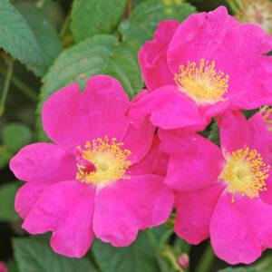 Róża Rosa gallica 'Officinalis'