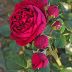 Róża Red Leonardo Da Vinci® (Meilland, 2005)