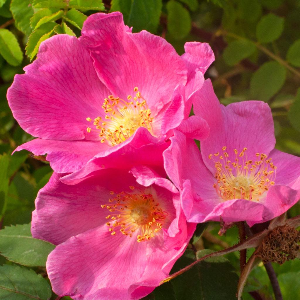 Róże naturalne (dzikie) i ich mieszańce