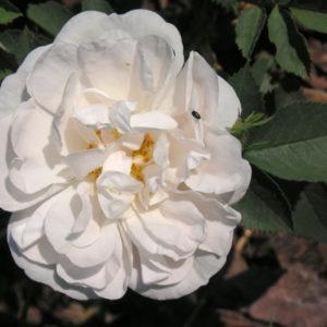 Rosa Alba 'Maxima'