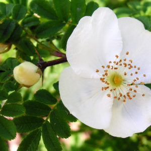 Rosa Sericea 'Pteracantha'