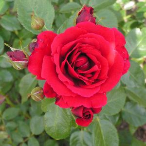 Róża Sympathie