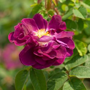 Róża Tuscany Superb