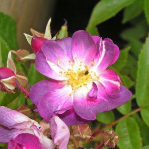 Veilchenblau
